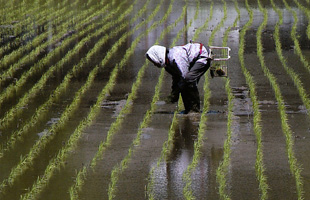 「轍」の特別栽培米のイメージ